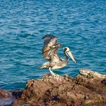 Pelicano en Lagunillas